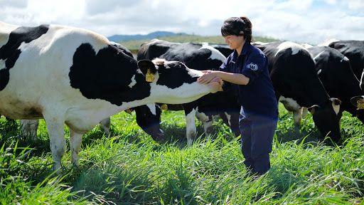 Đơn hàng Tokutei chăn nuôi bò, chế biến thịt bò...lương cao chế độ tốt