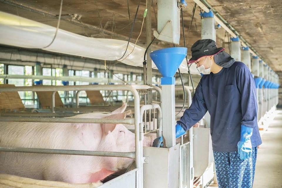 Đơn hàng chăn nuôi lợn